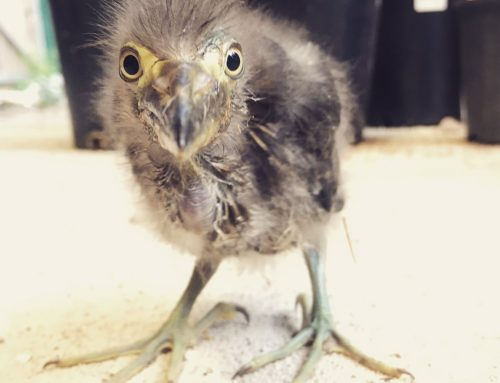 Wildlife Spotlight: Raising Baby Herons